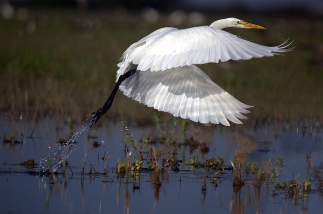 great-egret-599205_640